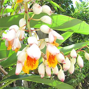 琉白のスキンケア商品に使用される沖縄生まれの植物、月桃。
